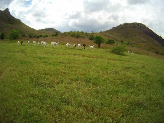 As vacas em alerta  rsrs